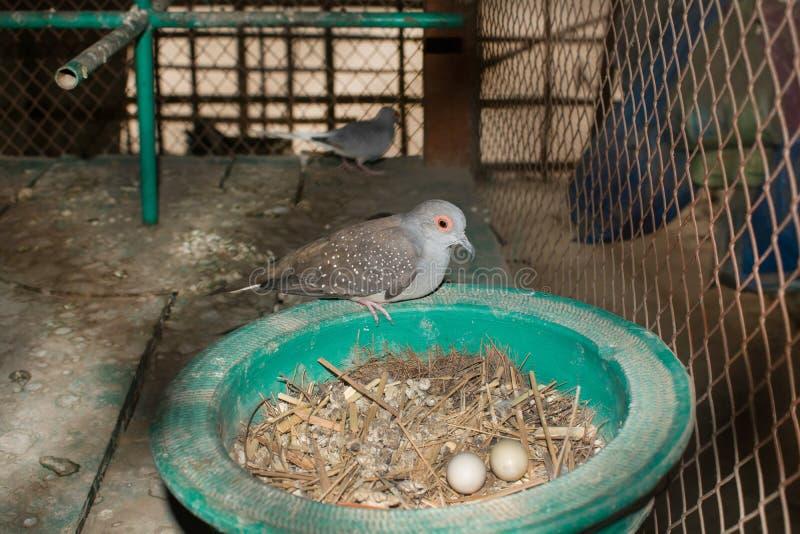 Schließen Sie oben von beschmutzter Taube im Nest mit zwei Eiern lizenzfreie stockfotografie
