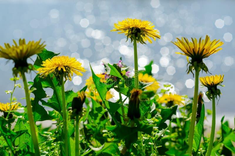 Schließen Sie oben von blühenden gelben Löwenzahnblumen (Taraxacum officinale) im Garten auf Frühlingszeit, wenn eine Weichzeichn lizenzfreie stockfotografie