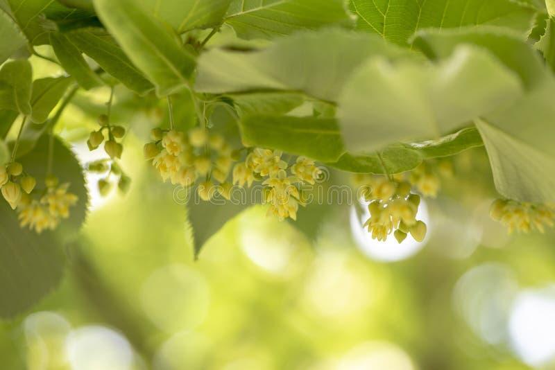 Schließen Sie oben von blühenden Lindeniederlassungen während der Frühlingszeit stockfoto