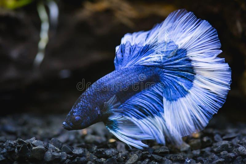Schließen Sie oben von blauem Halbmond Siamesischem Kampffisch stockfotos