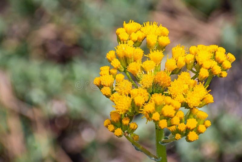 Schließen Sie oben von Brauereiaster Eucephalus-breweri Wildflower, Yosemite Nationalpark, Sierra Nevada -Berge, Kalifornien stockfotografie