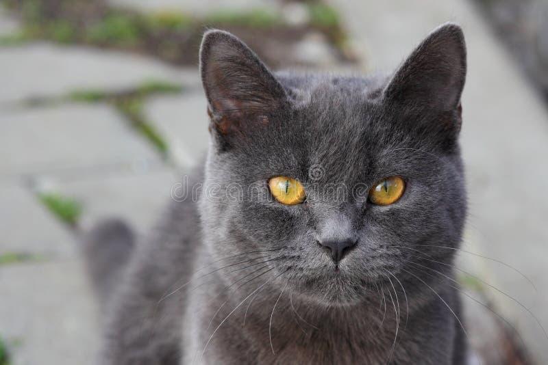 Schließen Sie oben von Britisch Kurzhaar-Katzen-en-Gesicht lizenzfreie stockfotos
