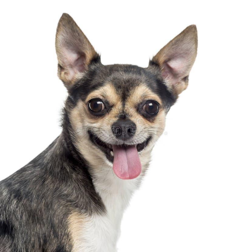 Schließen Sie oben von Chihuahua, welche heraus die Zunge haften, lokalisiert stockfotos