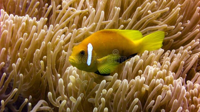 Schließen Sie oben von den Anemonenfischen in den Malediven stockbild