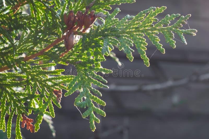 Schließen Sie oben von den Blättern Thuja occidentalis weißer Zeder mit reifen Kegeln stockfoto