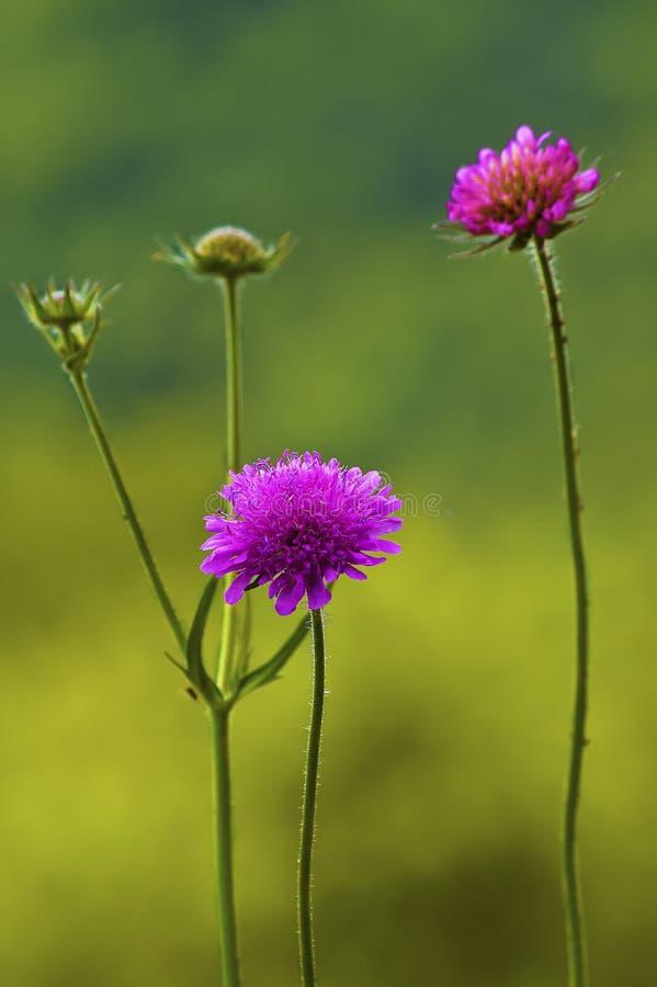 Schließen Sie oben von den Blumen von Knautia-Arvensis stockbild