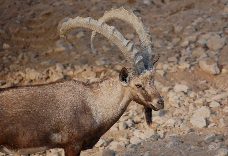 Schließen Sie oben von den eindrucksvollen Hörnern eines Nubian-Steinbocks und von starkem Körper Capra nubiana stockbild