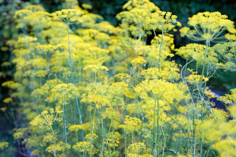 Schließen Sie oben von den gelben Blumen des Dills im Gemüsegarten frech lizenzfreie stockfotografie