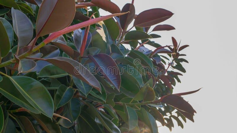 Schließen Sie oben von den großen Blättern der Ficusanlage auf blauem Himmel lizenzfreie stockbilder