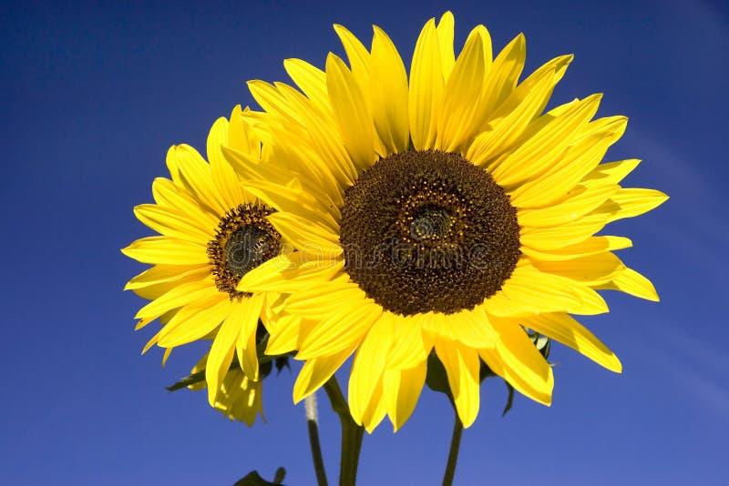 Schließen Sie oben von den hellen gelben Sonnenblumen. stockfotos