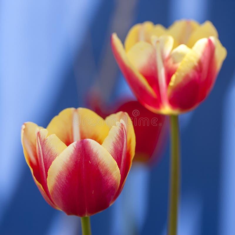 Schließen Sie oben von den hellen Tulpen stockbild