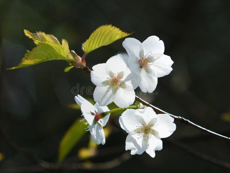 Schließen Sie oben von den hellen weißen Apfelblütenblumen im Sonnenlicht auf einem dunklen unscharfen Hintergrund lizenzfreies stockfoto