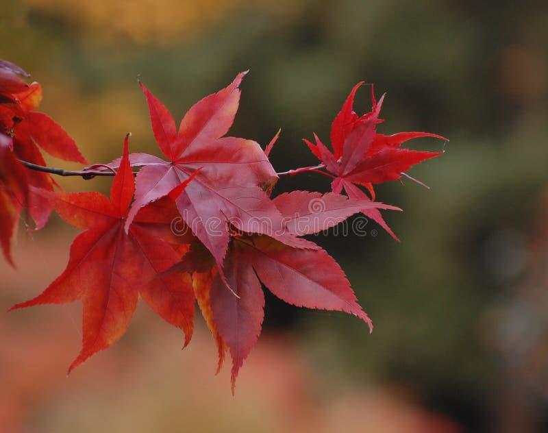 Schließen Sie oben von den herrlichen Blättern des roten Ahorns lizenzfreie stockfotografie