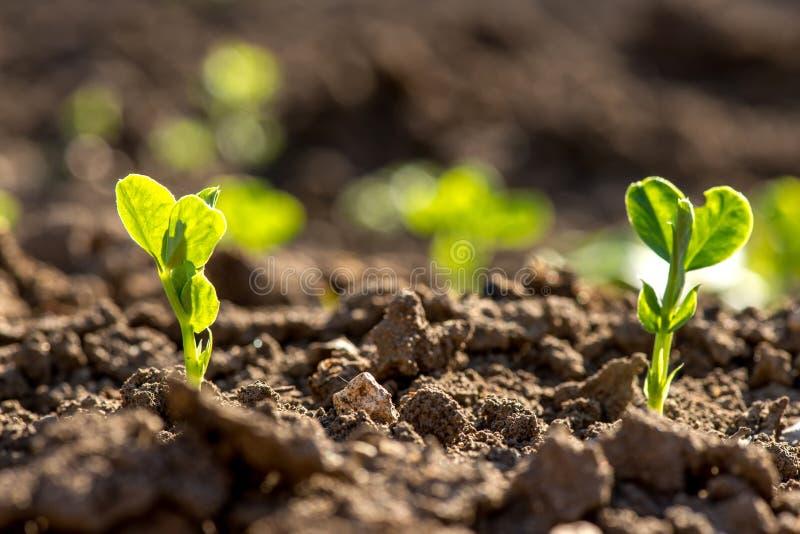 Schließen Sie oben von den jungen Erbsenanlagen im Vorfrühlingsgarten - selektiver Fokus, kopieren spsce lizenzfreie stockfotos