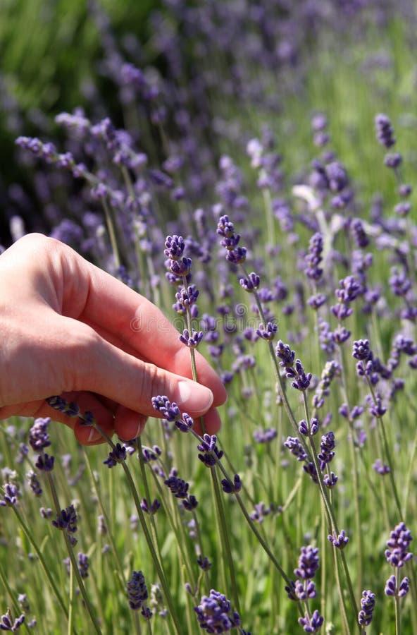 Schließen Sie oben von den Lavendelblumen lizenzfreies stockbild