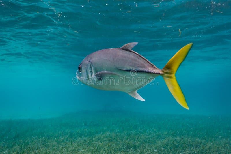 Schließen Sie oben von den Pferdeaugen-Steckfassungsfischen, Caranx latus, stockfotos