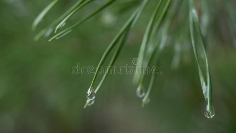 Schließen Sie oben von den Regentropfen auf grünen Kiefernnadeln mit neuem grünem copyspace Abstrakter Hintergrund von der Nadelb stockbild