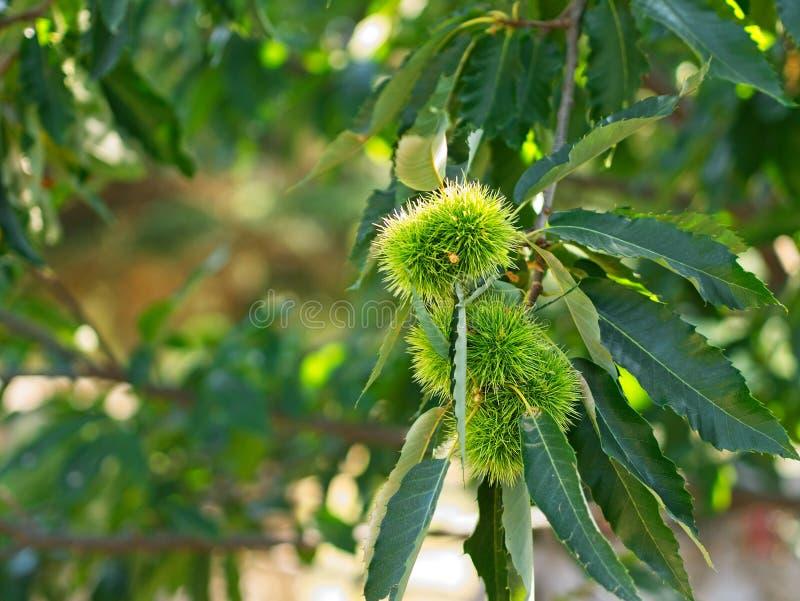 Schließen Sie oben von den reifen Kastanien/Kastanienbaum stockbild
