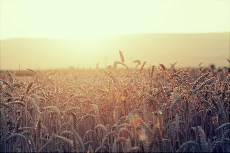 Schließen Sie oben von den reifen Weizenohren stockfotos