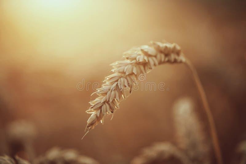 Schließen Sie oben von den reifen Weizenohren lizenzfreies stockbild