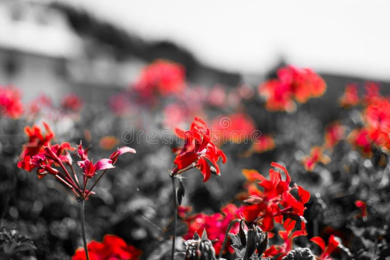 Schließen Sie oben von den roten Blumen mit desatured Hintergrund in Schwarzweiss traurigkeit Makroblumenbild stockfotografie