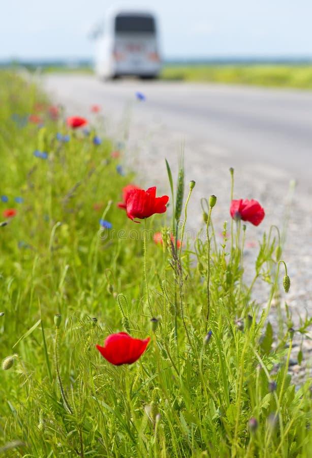 Schließen Sie oben von den roten Mohnblumen auf einem Gebiet nahe der Straße lizenzfreie stockfotos