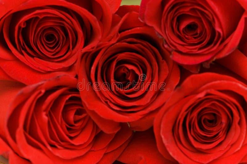 Schließen Sie oben von den roten Rosen lizenzfreie stockfotos
