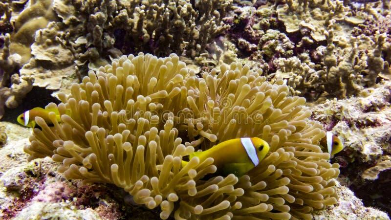 Schließen Sie oben von den schwarzen Anemonenfischen in Malediven lizenzfreie stockbilder
