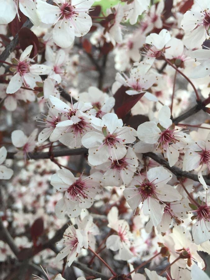 Schließen Sie oben von den weißen und roten Blumen, die auf Busch blühen lizenzfreie stockfotos