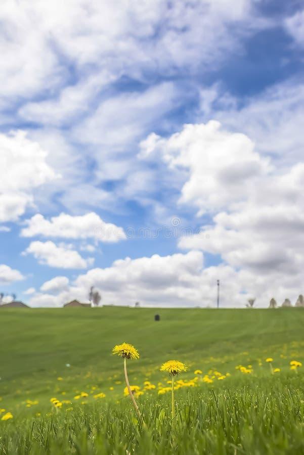 Schließen Sie oben von den wilden gelben Blumen, die unter klaren grünen Gräsern auf einer Wiese blühen stockbilder