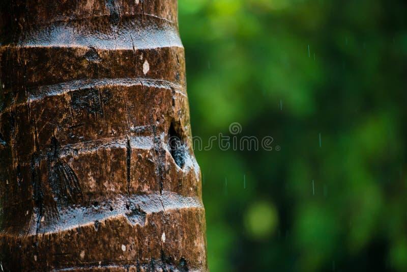 Schließen Sie oben von der Barke einer Palme, Hintergrundbeschaffenheitsmuster Unter Regen lizenzfreie stockfotos