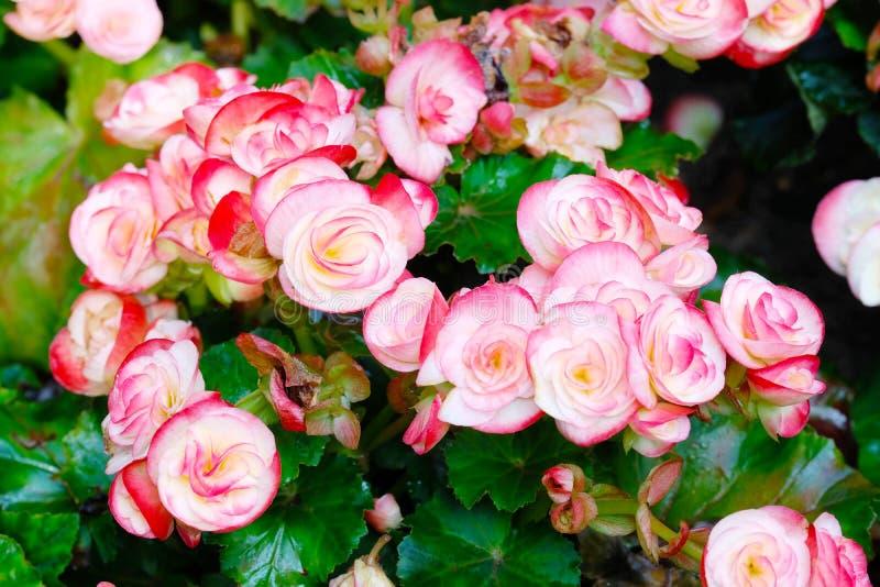 Schließen Sie oben von der Begonienblume, die Hintergrund der Gartenfrühlings-Natur im im Freien, Blume in der Natur blüht stockfoto