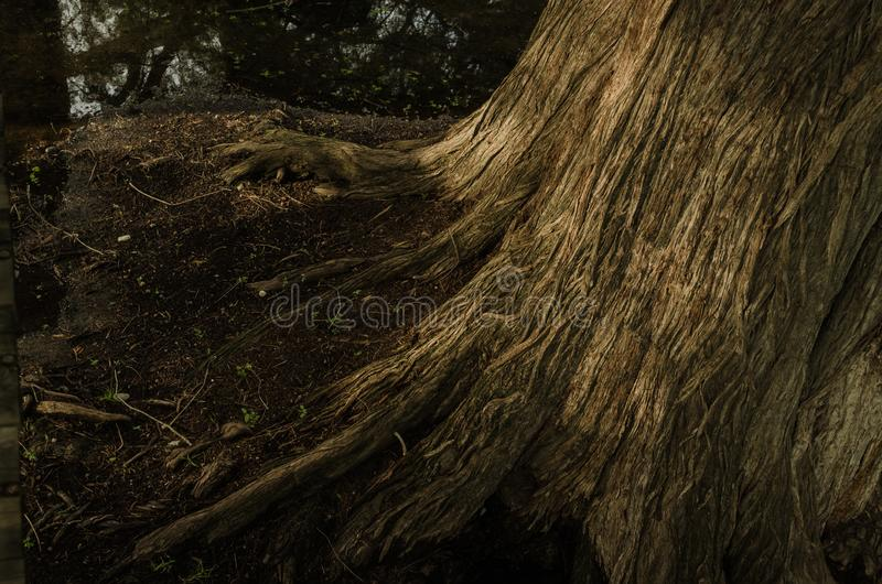 Schließen Sie oben von der Beschaffenheit des Stammes eines großen Baums, mit der Reflexion des Sonnenlichts bei Sonnenuntergang stockfoto