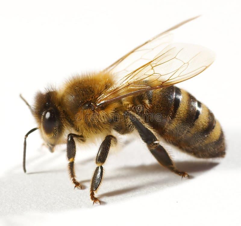 Schließen Sie oben von der Biene lizenzfreie stockfotografie