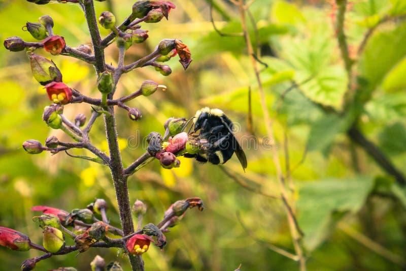 Schließen Sie oben von der Biene, die ein Kalifornien-Bienenanlagenscrophularia californica bestäubt lizenzfreie stockbilder