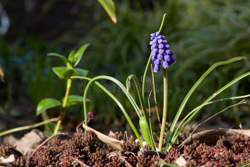 Schließen Sie oben von der blauen Frühlingsblumen-Traubenhyazinthe im Frühjahr mit natürlichem grünem Hintergrund stockfotos