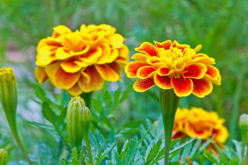 Schließen Sie oben von der Blume der französischen Ringelblume lizenzfreie stockfotos