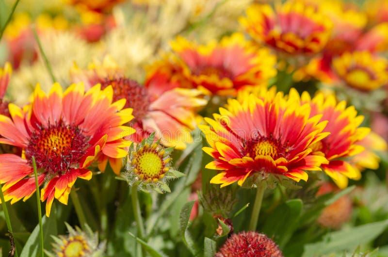 Schließen Sie oben von der Gazaniablume oder vom afrikanischen Gänseblümchen stockbild