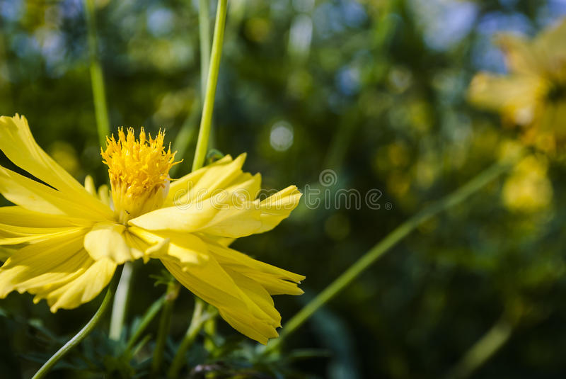 Schließen Sie oben von der gelben, orange Kosmosblume lizenzfreies stockfoto