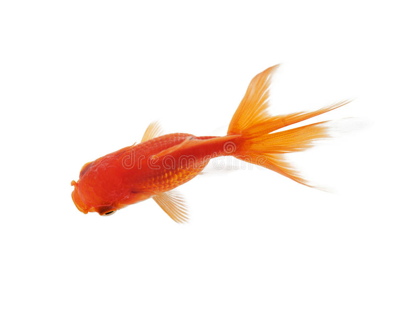 Schließen Sie oben von der glänzenden Fischschwimmen im fishbowl stockbilder
