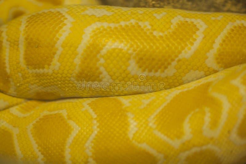Schließen Sie oben von der goldenen thailändischen Pythonschlange stockbild