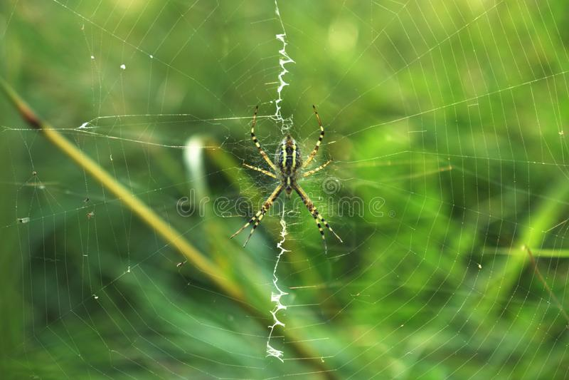 Schlie?en Sie oben von der gro?en schwarzen und gelben Spinne im Netz stockfotografie