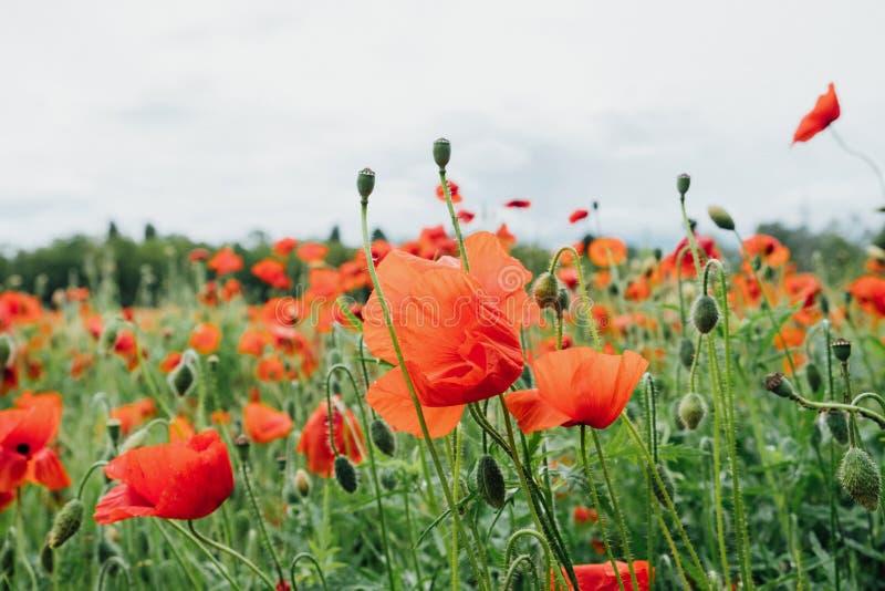 Schließen Sie oben von der hübschen roten Mohnblumenblume in voller Blüte Blumenwiese des schönen Sommers stockbild