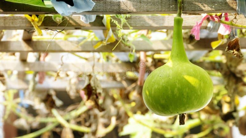 Schließen Sie oben von der Kalebasse, vom Flaschenkürbis oder von weiß-geblühtem Kürbis, Lagenaria siceraria lizenzfreies stockfoto