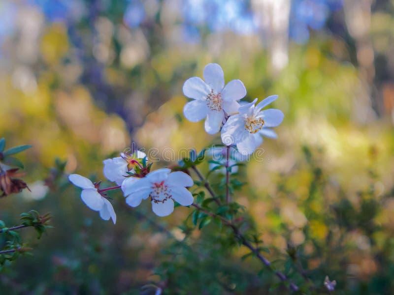 Schließen Sie oben von der Leatherwoodblume in Tasmanien, Australien stockfotos