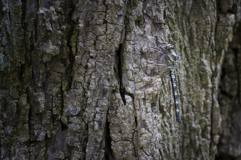 Schließen Sie oben von der Libelle auf einem Baumstamm lizenzfreie stockfotografie