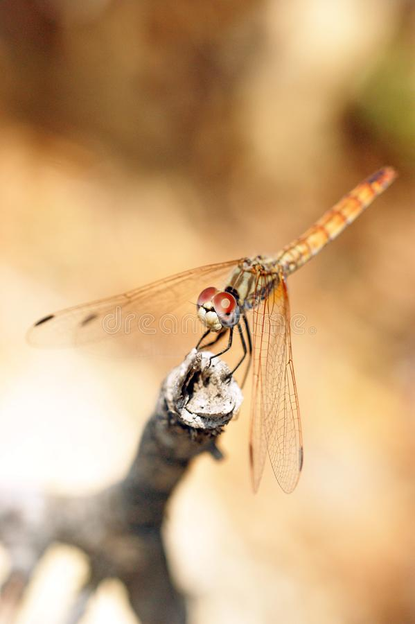 Schließen Sie oben von der Libelle, die auf einer Niederlassung sitzt lizenzfreies stockbild