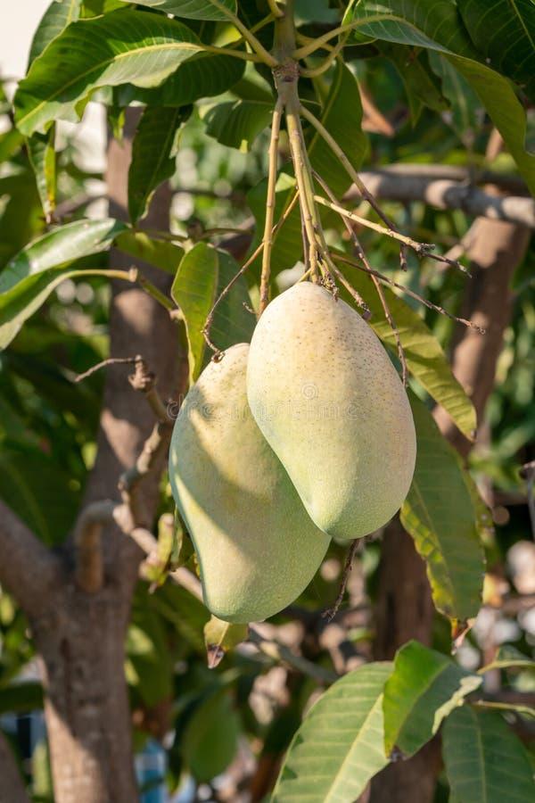 Schließen Sie oben von der Mangofrucht auf einem Mangobaum stockfotos