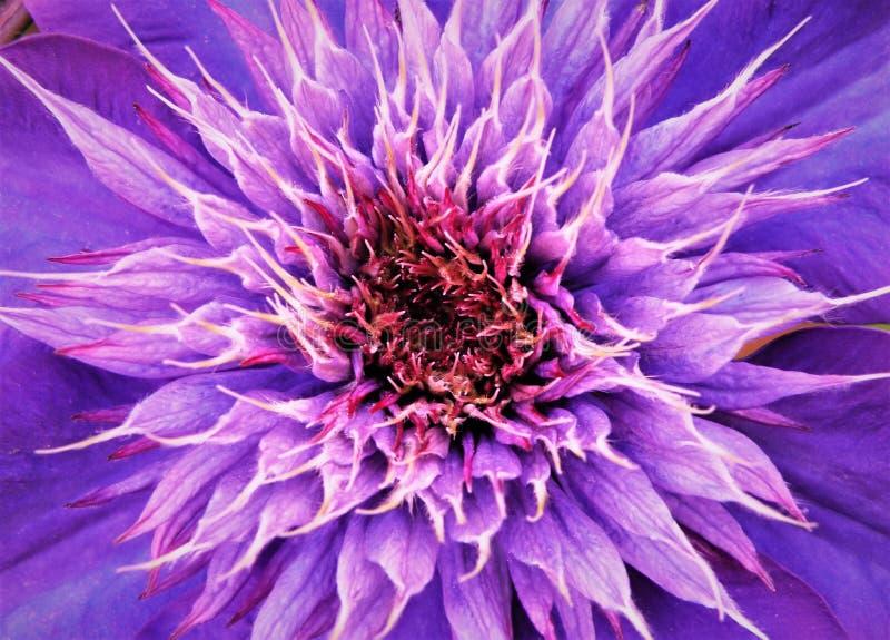Schließen Sie oben von der Mitte der purpurrote Klematis-Blume stockbild