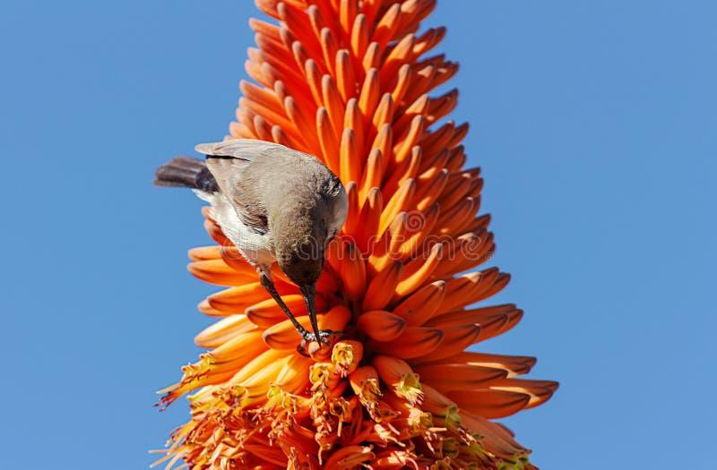 Schließen Sie oben von der orange Blume und dem Vogel der Aloe auf blauem Hintergrund lizenzfreies stockbild